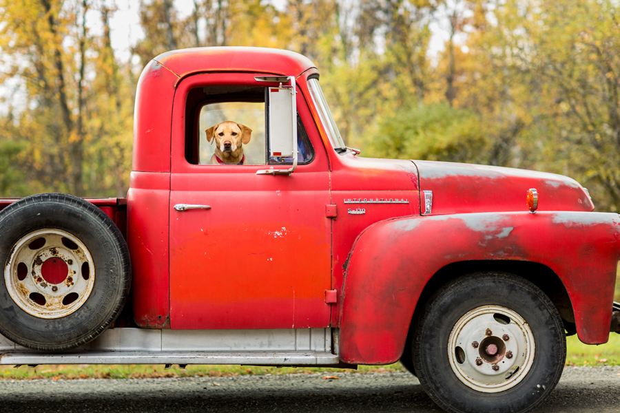 tracey buyce saratoga ny family photographer's image of dog in red truck
