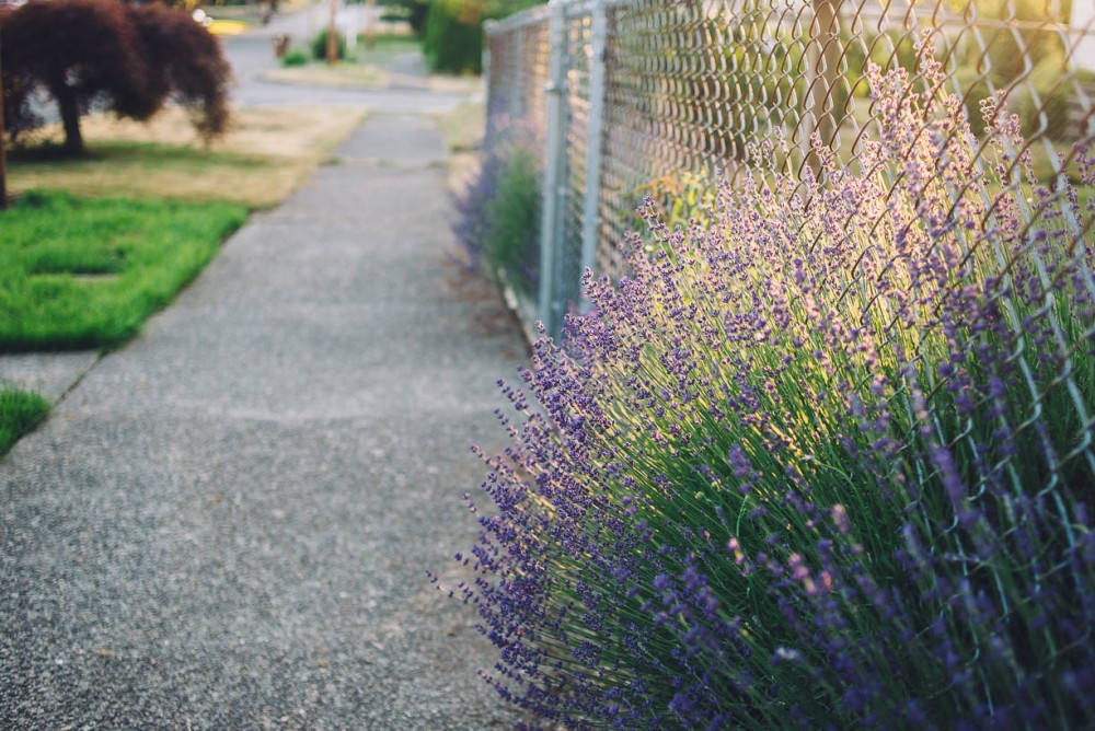 1 picture of sidewalk and fence with purple flowers by devon michelle