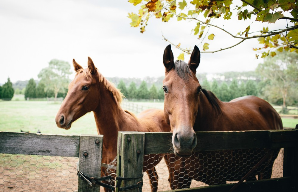 10 photo two brown horses behind a fence by Sheridan Nilsson