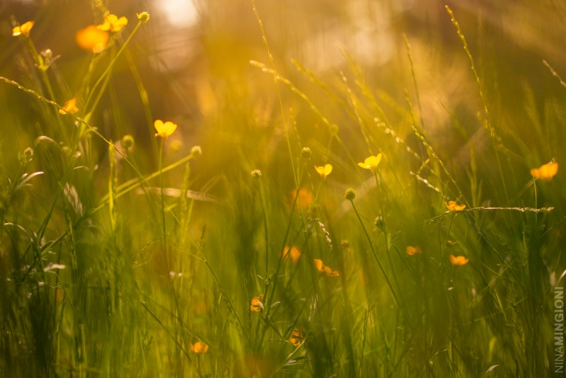 8 picture of yellow wildflowers by nina mignioni