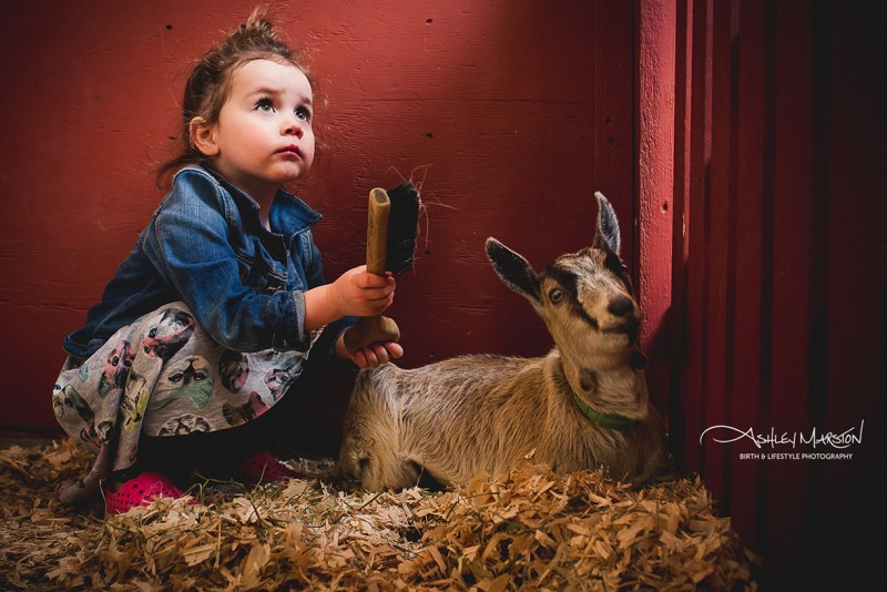 picture of young girl brushcing goat in stall by ashley marston