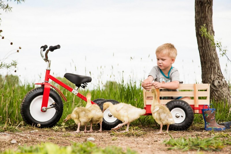 image of young boy with tricycle and card playing with four ducks by nicole mccallister