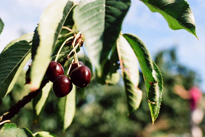 image of cherries on a branch by emily mccann