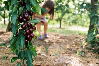 photo of branch of ripe cherries young girl approaching by emily mccann