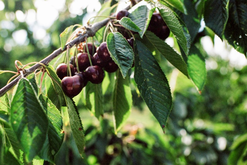 photo of cherries on a branch by emily mccann