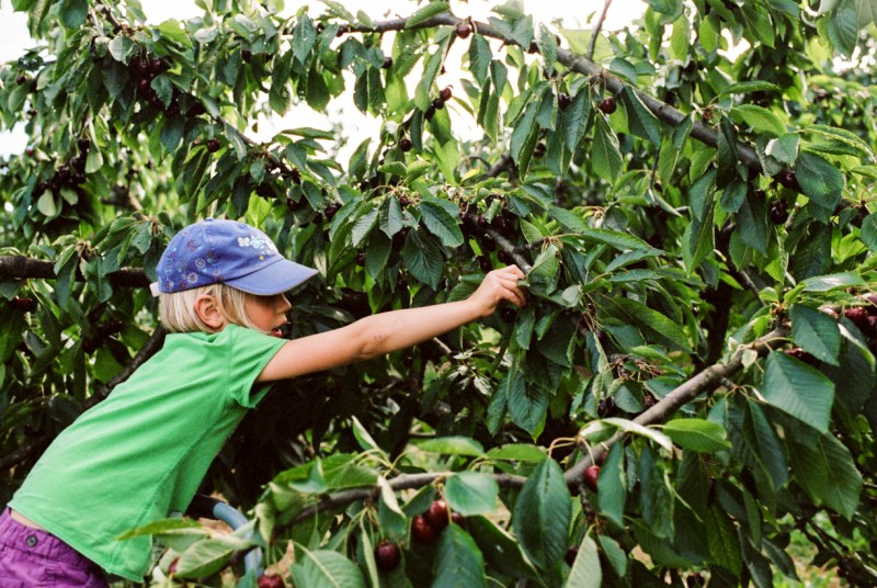 picture of young girl reaching to pick cherries by emily mccann