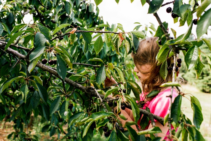 picture of girl picking cherries by emily mccann