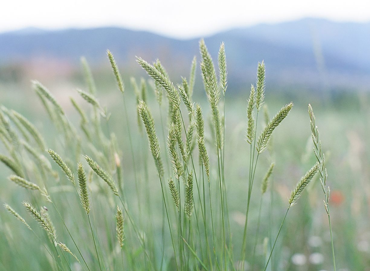 photo of wheat in field mountains background by Michelle Leach
